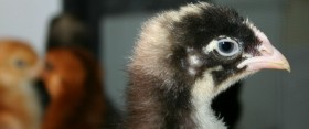 here a chick, there a chick