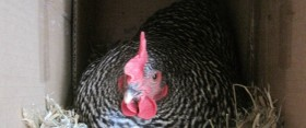 drama in the henhouse